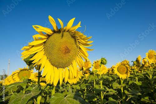 Fotobehang Purper Sunflower , pampas , Argentina