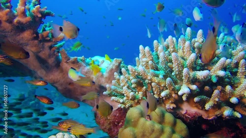 Tuinposter Koraalriffen Underwater Scene. Picture of a beautiful underwater coral garden and poison goby fish and glass fish in the tropical reef of the Red Sea, Dahab, Egypt.