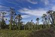 Sintra Forest Pines