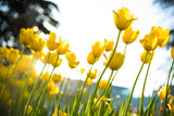 Beautiful tulip flower and green leaf background at sunny summer or spring day.