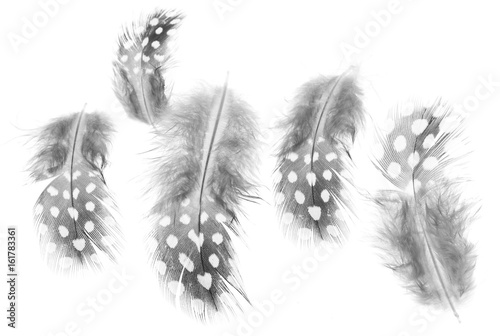 Feathers with spots on a white background Poster