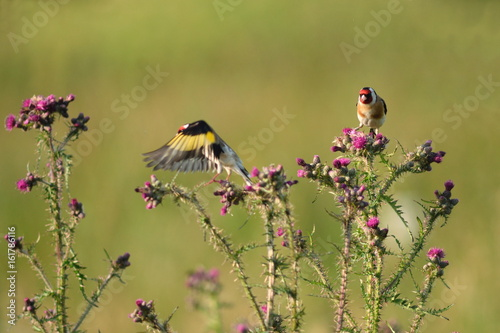 Goldfinch standing on the top of the wild thistle