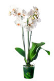White orchid in pot with many flowers