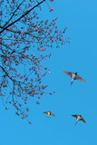 Spring flowering branches with flying barn swallows - 161817319