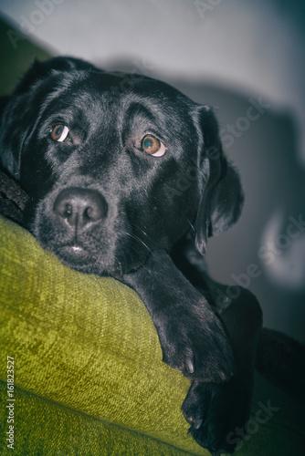 Junger Labrador lauert neugierig auf dem Sofa Poster