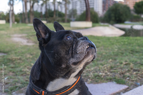 Black french bulldog, looking up, asking for food or something to eat