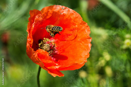 Bee and red poppy on a summer sunny day - 161835760