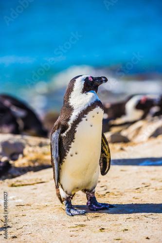 Black - white penguin on the beach