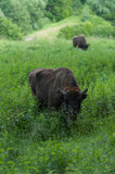Zimbru - European Bison