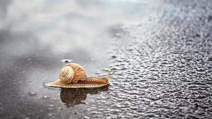 Snail crosses wet street after the rain, shallow depth of field.