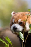 Red panda eating bamboo shoots. Cute animal image with copy space.