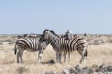 Group of zebras / Herd of zebras, young animal looking at camera, Etosha National Park.