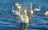 Photo of wonderful swans