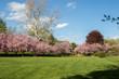 Cherry Blossom Trees at Hurd Park