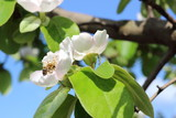 Bee on flower of flowering quince tree on sunny spring day