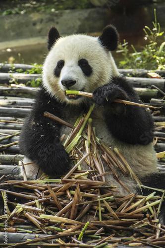 Panda eating bamboo at the Panda Research Center, Chengdu, China