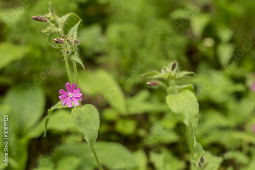 Beautiful, wild purple flower in a summer forest, with blurred background. Close-up.