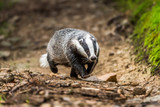 Badger in forest creek. European badgerforest swimming in the water, animal in the nature forest habitat, Germany, central Europe. Wildlife scene from nature. Mammal in the water. (Meles meles) - 161899358