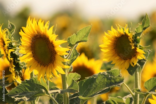 Sunflowers in field, nature landscape