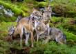 Alaska wolf pack (Canis lupus)