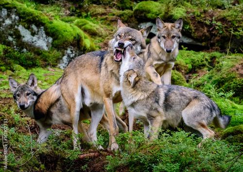 Fotobehang Wolf Alaska wolf pack (Canis lupus)