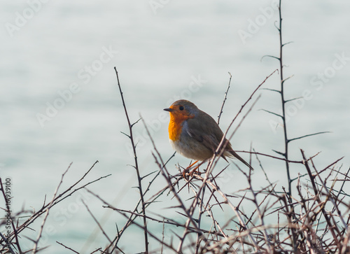 Poster Rotkehlchen im Winter am Meer in Schlehdornhecke - Robin redbreast in the winter