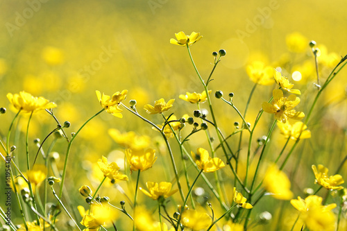 Yellow flowers on field in the morning. Blossoming of yellow colors. Wild flowers. Selective focus