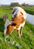 A cow grazes on a green meadow near a lake