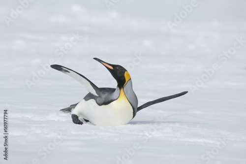 Fotobehang Pinguin King penguin stretching on South Georgia Island