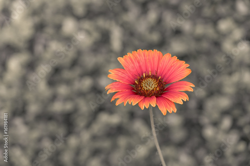 Foto op Canvas Klaprozen The flower Orange fine art background wallpaper and pattern.