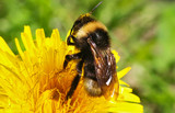 Bumblebee pollinating flower