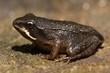 Wood Frog (Rana sylvatica) Pollyfrog