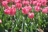 Tulipes roses au lever du soleil au jardin au printemps