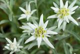 Fresh Edelweiss Flowers
