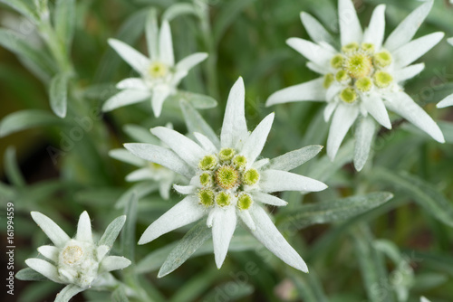 Fresh Edelweiss Flowers