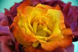 Rio Samba rose isolated