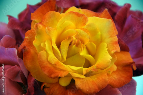 Rio Samba rose isolated