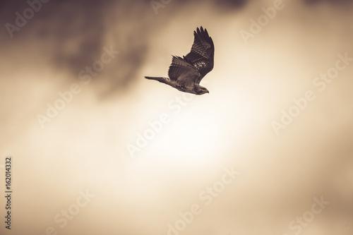 A rough legged hawk flies downward on a cloudy afternoon