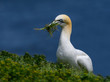 Northern Gannet Holding Grass in its Beak