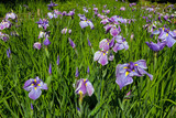 Purple Siberian Irises in Bloom by the Bridge