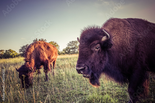buffalos grazing at sunset vintage look