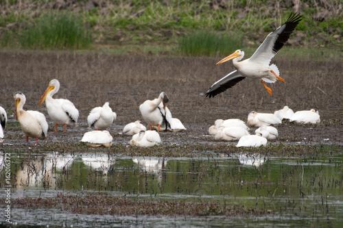 Group of Wild Pelicans