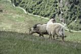 Mountain Goats - 162016515