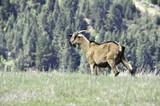 Mountain Goat - 162016533