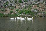 Стая гусей на воде