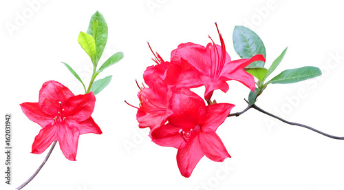 Aluminium Azalea Flowering branches of red rhododendron isolated on white background.