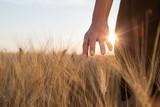 Ragazza sta accarezzando delle spighe di grano in un campo al tramonto - 162035548