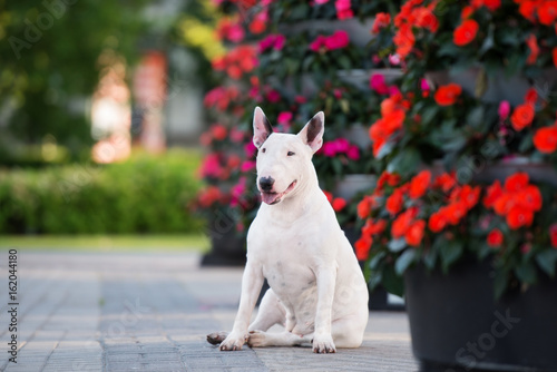 happy white bull terrier dog sitting near blooming flowers