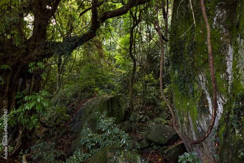 Papiers peints Rio de Janeiro Inside the dense vegetation found in the Atlantic rainforest of Rio de Janeiro