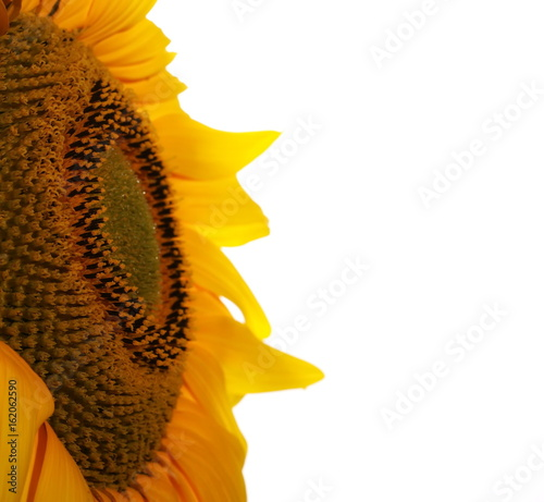 sunflower isolated on white background, with clipping path